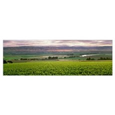 Wine grape vineyard with Spring foliage growth Poster