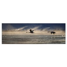 Trumpeter Swan Silhouetted In Flight Near Swan Hav Poster