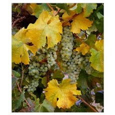 Clusters of mature Chardonnay wine grapes on the v Poster