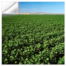 Mid growth, bloom stage cotton field, Los Banos, C Wall Decal