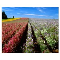 Commercial flower seed field Canvas Art