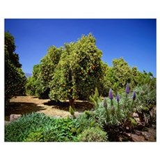 Valencia orange trees in a grove with a crop of ma Canvas Art