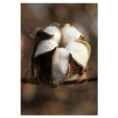 Closeup of a partially open cotton boll, Mississip Framed Print
