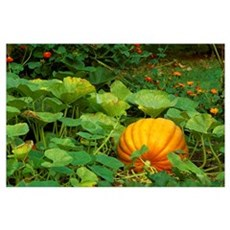 Mature pumpkin on the vine in a garden, Northern K Poster