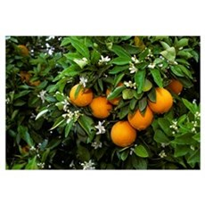 Navel oranges on the tree with blossoms, Portervil Poster