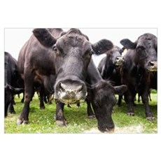Cattle feeding, Cecilton, Maryland, United States  Framed Print