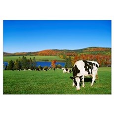 Holstein dairy cows grazing in a pasture with a la Poster