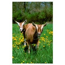 Two Toggenburg domestic dairy goat does graze on a Poster
