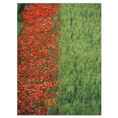 Line Of Red Poppies In Wheat Field In Provence, Fr Poster