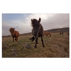 Icelandic horses, Iceland Poster