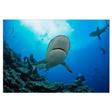 Gray reef sharks and divers at a dive site named V Framed Print