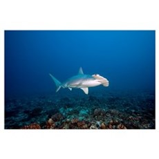 Hawaii, Molokai, Scalloped Hammerhead shark swimmi Poster