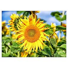 Sunflower Wall Art Poster
