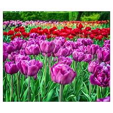 Tulip Field Wall Art Poster