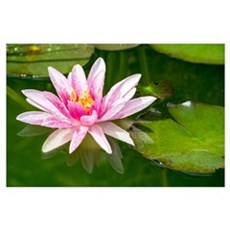 Pink Waterlily Wall Art Poster