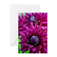 Purple dahlia flowers Greeting Cards