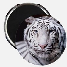White Bengal Tiger Magnets
