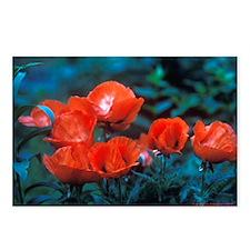 Postcards (Package of 8):  Oriental Poppies