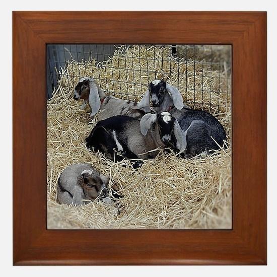 Cute Baby Goats Framed Tile
