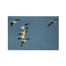 Snow Geese Rectangle Magnet