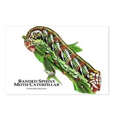 Banded Sphinx Moth Caterp Postcards (Package of 8)