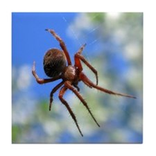 Red Thin Leg Wolf Spider on Web in blue Tile Coast