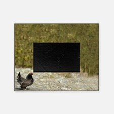 Male spruce grouse 2 Picture Frame