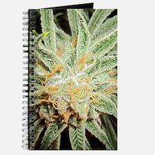 Cannabis Sativa Flower Journal