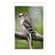 Downy Woodpecker Postcards (Package of 8)