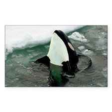 Spy Hopping Orca Whale Decal