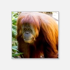 Orangutan Photo Sticker
