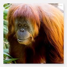 """Orangutan Photo Square Car Magnet 3"""" X 3&quot"""