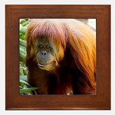Orangutan Photo Framed Tile