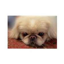 Cute White pekingese Rectangle Magnet