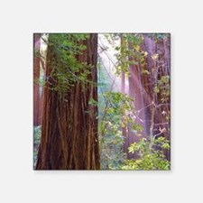 "Giant redwoods Square Sticker 3"" x 3"""