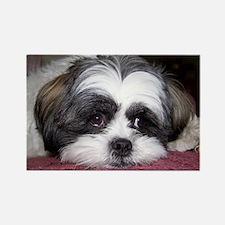 Shih Tzu Dog Photo Image Magnets
