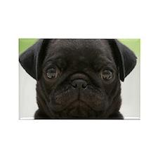 Black Pug Magnets