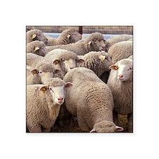 Flock of Sheep Sticker