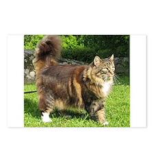 norwegian forest cat full tabby Postcards (Package