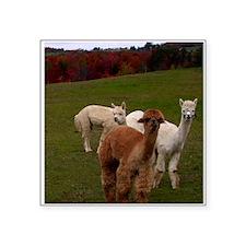 3 Alpacas Sticker