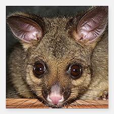 "Cute Australian Possum w Square Car Magnet 3"" x 3"""