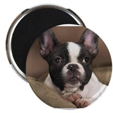 Cute Brown and white bulldog Magnet