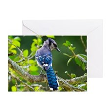 Shy Blue Jay Greeting Cards