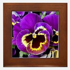 Beautiful purple pansy Framed Tile