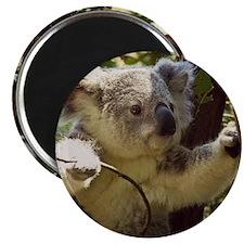 Sweet Baby Koala Magnets