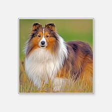 """Shetland Sheepdog 01 Square Sticker 3"""" x 3"""""""