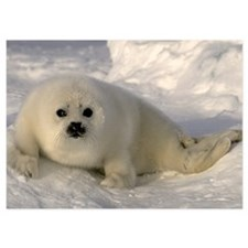Baby Seal 5x7 Flat Cards