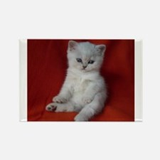 British Shorthair kitten Magnets