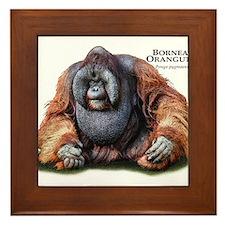 Bornean Orangutan Framed Tile