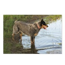 Austrailan Blue Heeler Postcards (Package of 8)